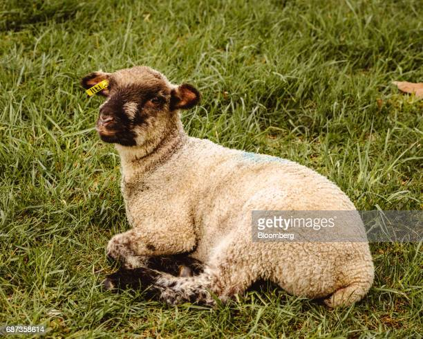 A sheep lays in a field at the Stone Barns farm in Pocantico Hills New York US on Friday April 21 2017 As customers are increasingly demanding...