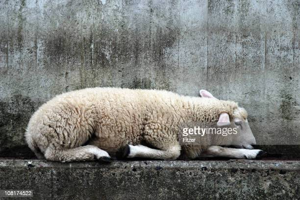 Sheep Lying on Concrete