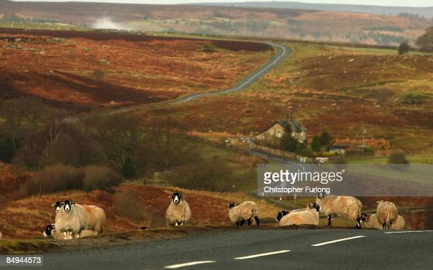 Sheep meander across Goathland Moor in Heartbeat country on February 20 2009 in Goathland United Kingdom Picturesque Goathland sits in the valleys of...