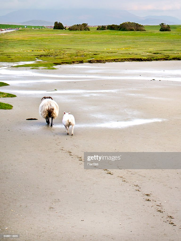Sheep on a Beach : Stock Photo