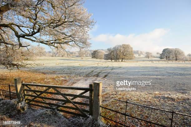Sheep on a Frosty Field in the Cotswolds