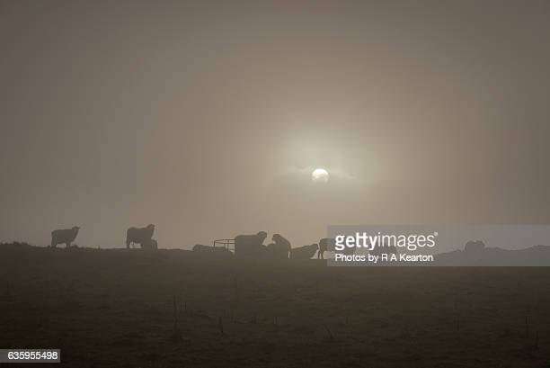 Sheep on a misty hilltop at dawn
