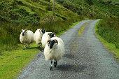 Horned Scottish blackface sheep on road in Ireland