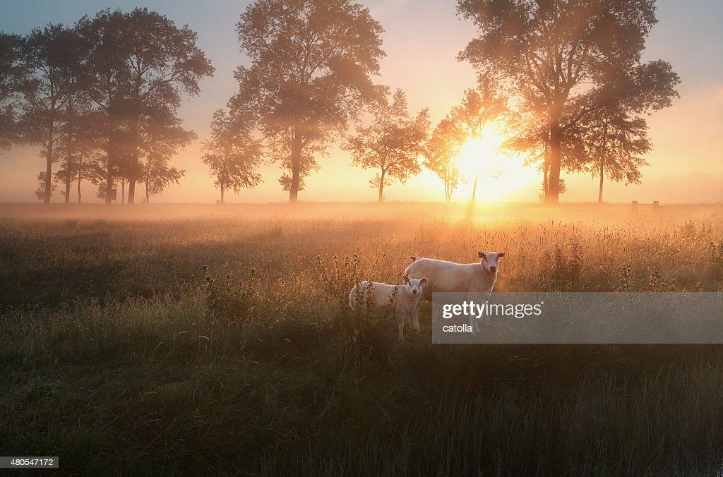 sheep on misty pasture at sunrise : Stock Photo