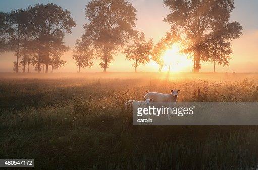 Ovelhas no pasto na misty nascer do sol : Foto de stock