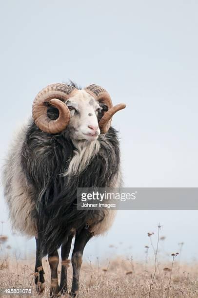 Sheep on pasture, Gotland, Sweden
