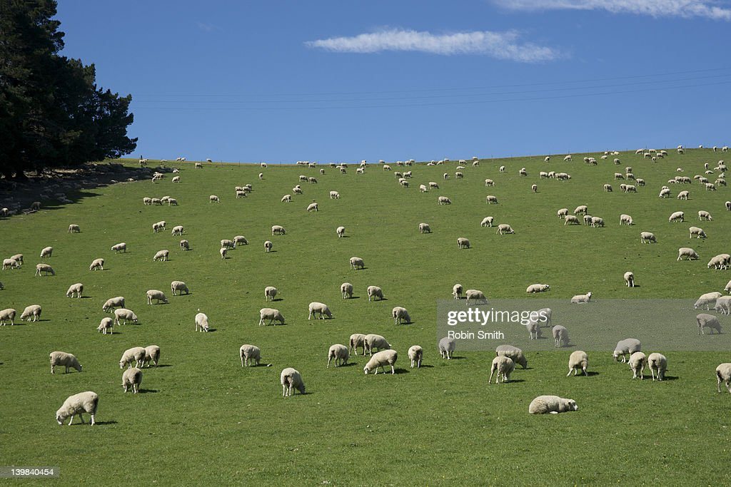 Sheep on pasture, Mackenzie Country, South Island, New Zealand