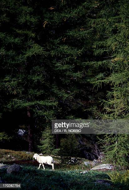 Sheep on the edge of a fir wood surroundings of Ceresole Reale Gran Paradiso National Park Piedmont region Italy
