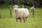 A ewe standing in a lush New Zealand paddock.