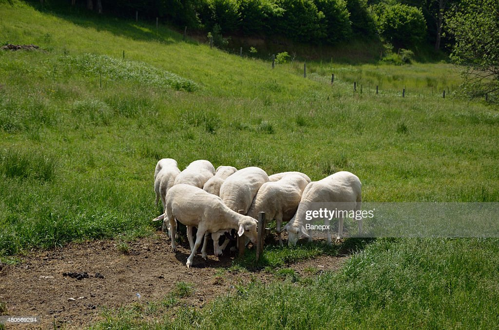 Sheep : Stock Photo