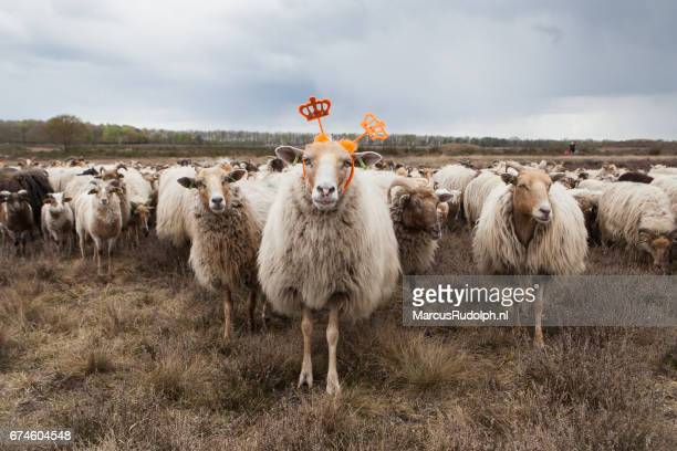 sheep queen for a day
