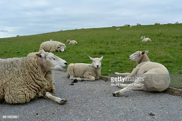 Sheep Relaxing On Road By Grassy Field Against Cloudy Sky
