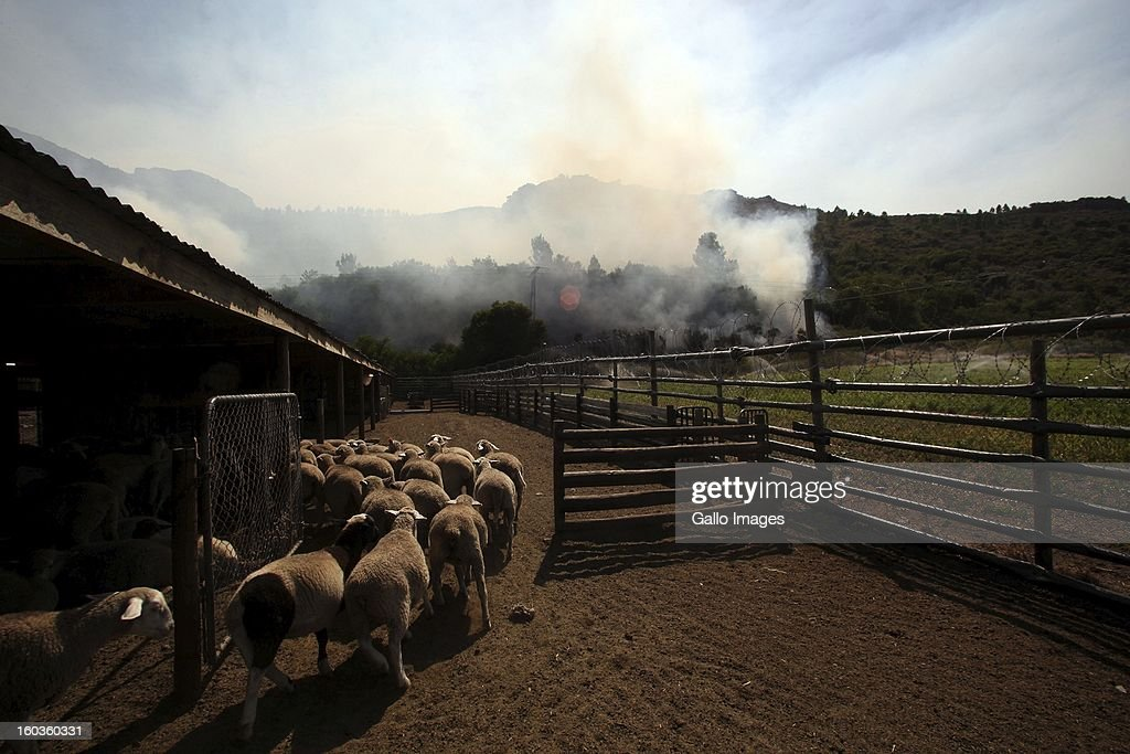 Sheep run at La'Arc De Orleansr on January 29, 2013, in Paarl, South Africa. No firemen were present as the veld fire swept through the entire Boland region in the Western Cape.