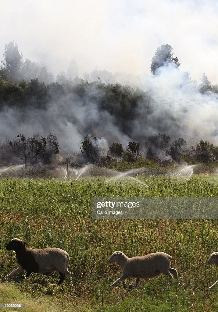 Sheep run in the field at La'Arc De Orleans on January 29, 2013, in Paarl, South Africa. No firemen were present as the veld fire swept through the entire Boland region in the Western Cape.