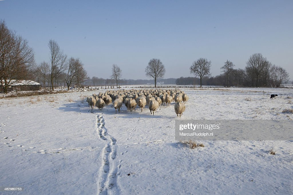 sheep running in snow : Stock Photo