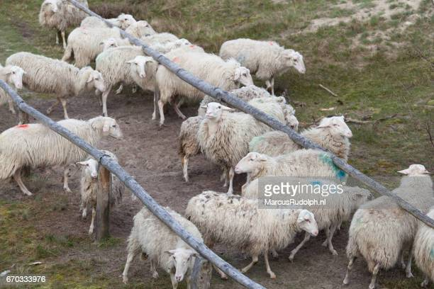Sheep scratching their backs