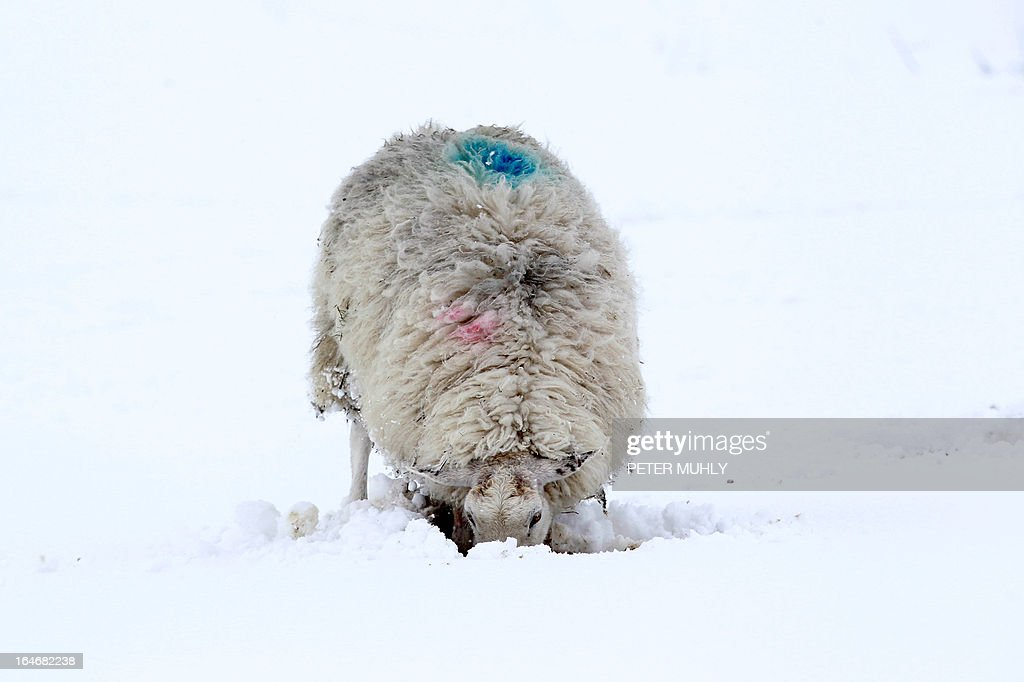 A sheep searches for grass beneath snow covered fields in the hills of Dromore in Northern Ireland, on March 26, 2013. A Royal Air Force (RAF) helicopter was deployed in Northern Ireland in a bid to reach remote farms where estimates suggest up to 10,000 animals have been buried beneath snowdrifts 20 feet (six metres) high. Thousands of cattle and sheep are already feared to have died in the cold at the height of the lambing season. The bad weather has claimed at least two lives on the British mainland. AFP PHOTO / PETER MUHLY
