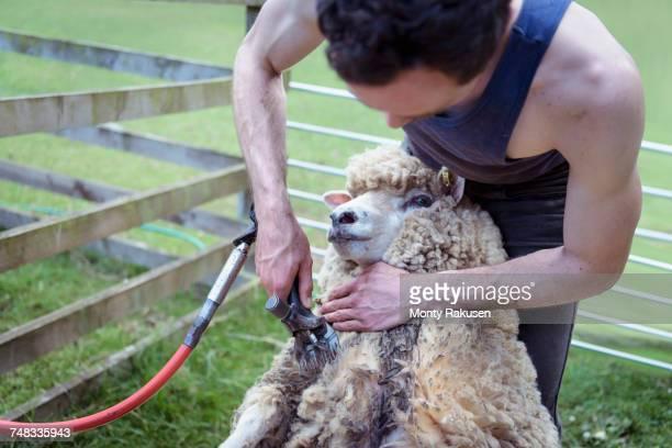 Sheep shearer using shearing tool on sheep
