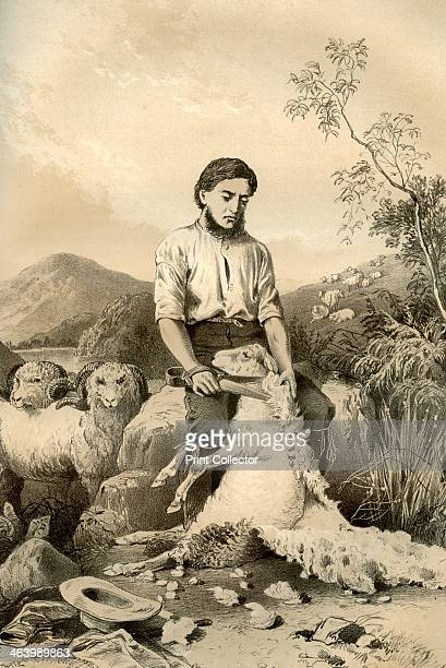 Sheep shearing 1879 A print from The History of Australasia by David Blair McGrady Thomson and Niven 1879