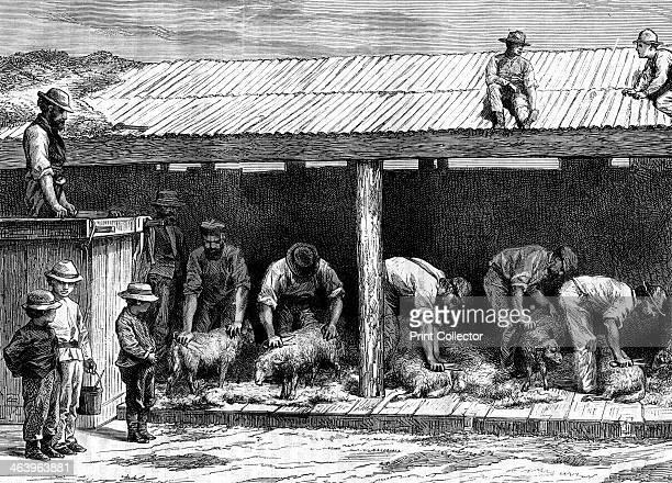 Sheep shearing Australia 1886
