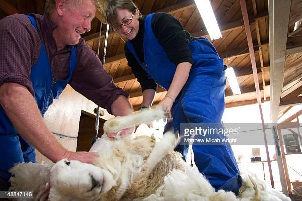 Sheep shearing demonstration.