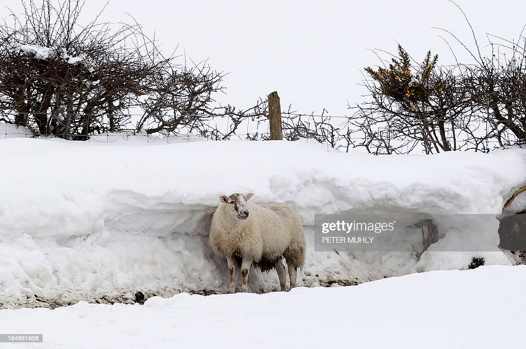 A sheep shelters behind a wall of snow in the hills of Dromore, Northern Ireland, on March 26, 2013. A Royal Air Force (RAF) helicopter was deployed in Northern Ireland in a bid to reach remote farms where estimates suggest up to 10,000 animals have been buried beneath snowdrifts 20 feet (six metres) high. Thousands of cattle and sheep are already feared to have died in the cold at the height of the lambing season. The bad weather has claimed at least two lives on the British mainland. AFP PHOTO / PETER MUHLY