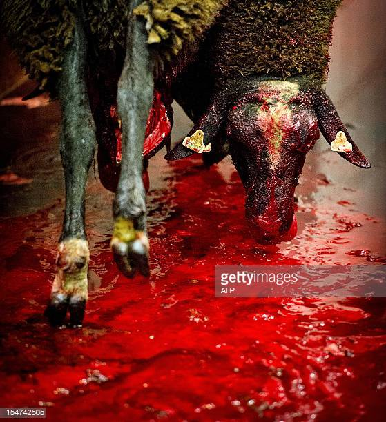 Sheep slaughtered for the Muslim Eid alAdha festivities hang above a pool of blood in a slaughterhouse in Arnhem on October 25 2012 Eid alAdha is an...