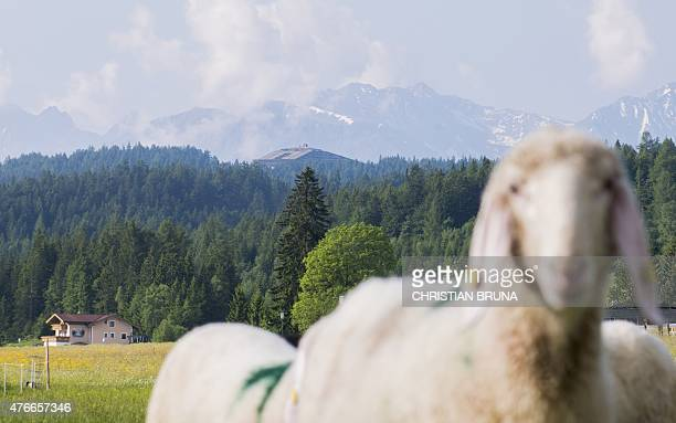 Sheep stand on a meadow near the InteralpenHotel Tirol venue of the Bilderberg conference on June 11 2015 near Telfs Austria The Bilderberg group...