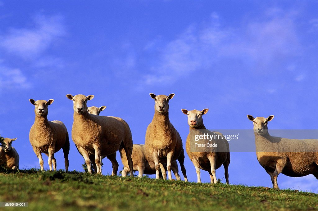 Sheep standing at top of slope, ground view : Stock Photo
