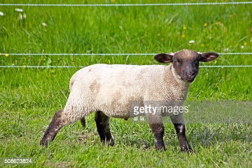 sheep standing in a field waiting : Stock Photo
