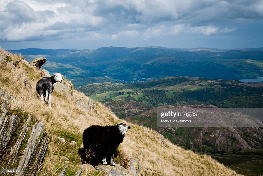 Sheep standing on hill : Stock Photo