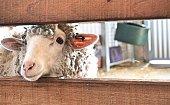 Close up sheep face through fence