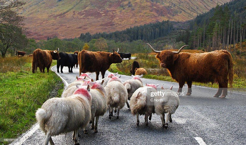 Sheep take on cows at Highland road block : Stock Photo