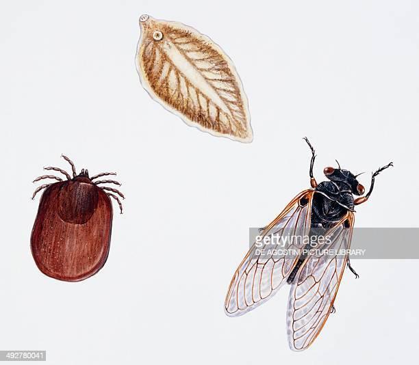 Sheep tick Ixodidae Sheep liver fluke Fasciolidae and Seventeenyear cicada Cicadidae Artwork by Brin Edward