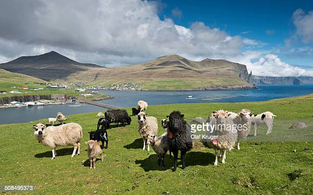 Sheep, Vagar, Faroe Islands, Denmark