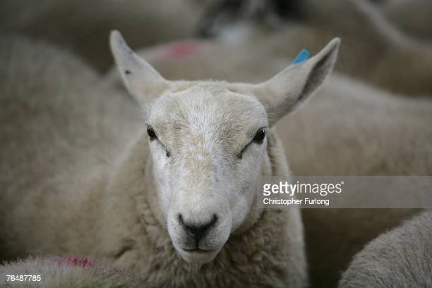 A sheep waits to be auctioned to farmers and buyers attending the York Livestock Auction after restrictions due to the Foot and Mouth Disease...