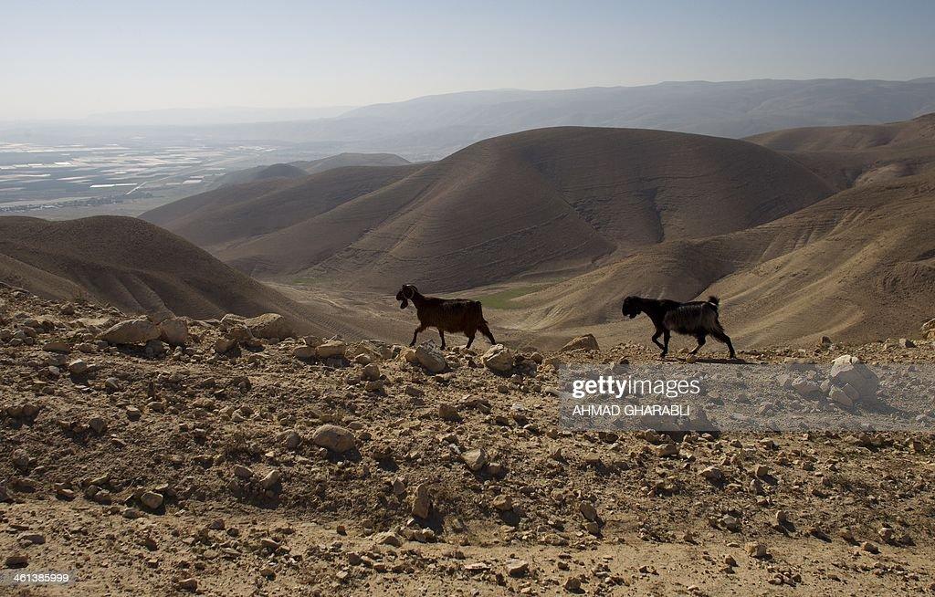 Sheep walk at the Judean desert overlooking the Jordan Valley on January 8, 2014 . AFP PHOTO /AHMAD GHARABLI