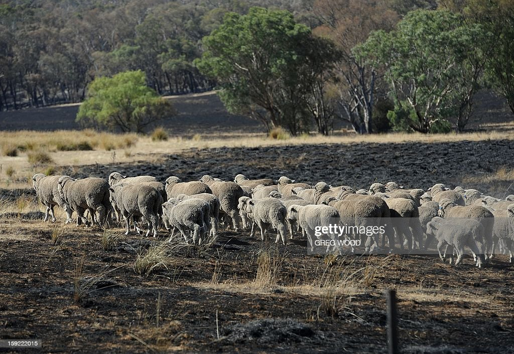 Sheep walk through a paddock blackened by a recent bushfire near Bookham, a small village in the Yass Shire in the southern region of Australia's New South Wales state, on January 10, 2013. Fires have been raging across Australia for nearly a week and while many have been contained, 126 are still burning and at least 15 remain out of control in the country's most populous state, New South Wales. AFP PHOTO / Greg WOOD