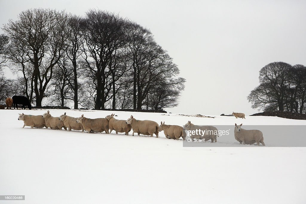 Sheep walk through a snow-covered field near Dovedale in the Peak District on January 26, 2013 in Stanshope, England.