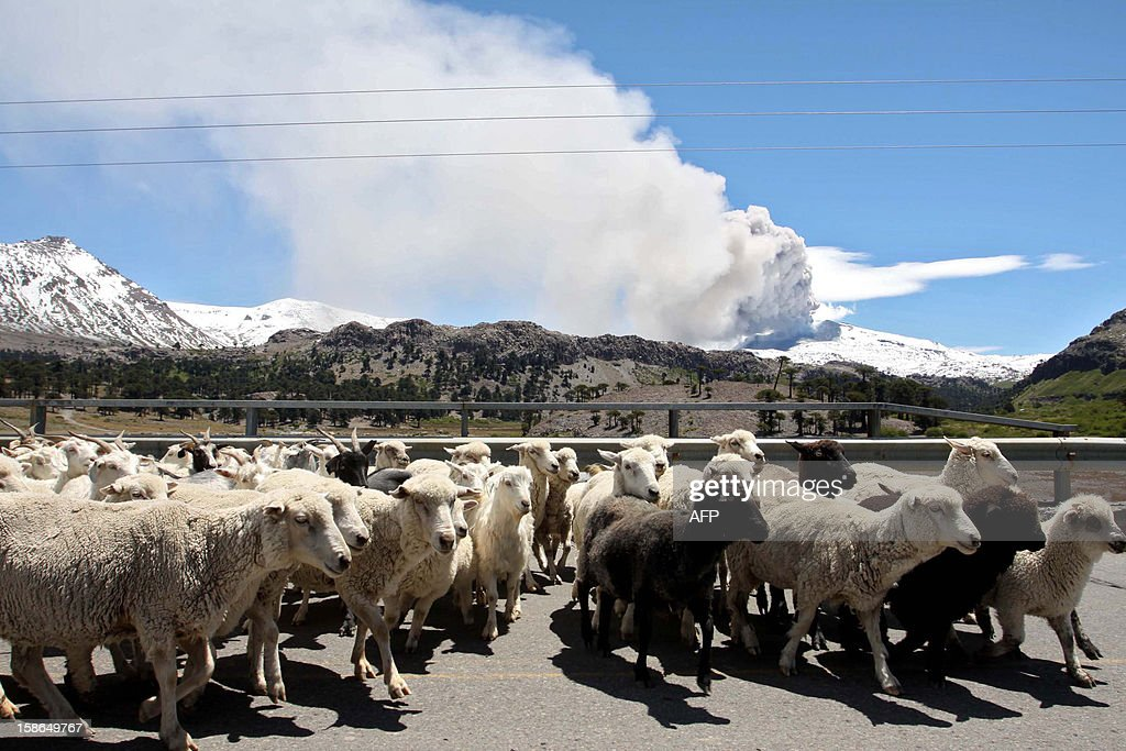 Sheep walk with the Copahue volcano spewing ashes in the background in Neuquen province, Argentina, some 1500 km southwest of Buenos Aires on December 22, 2012. The authorities of Chile and Argentina issued yellow alerts due to the eruption of the Copahue volcano, placed in the border between both countries. AFP PHOTO / NA - La Manana del Sur - Bruno Tornini