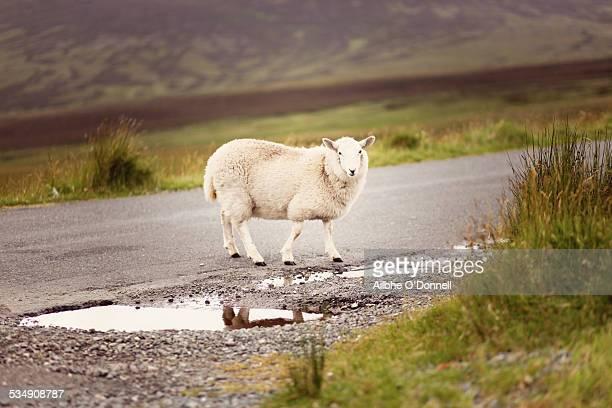 Sheep walking on Wicklow Rural Road, Ireland