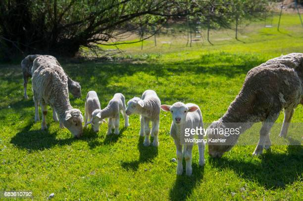 Sheep with lambs at the Estancia Hotel Kau Yatun in El Calafate Argentina