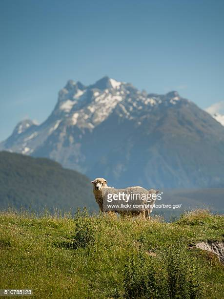 Sheep with snow mountain in background