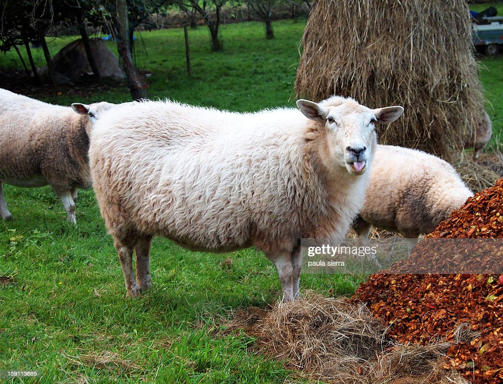 Sheep with tongue out : Stock Photo
