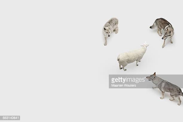 Sheep wolfepack