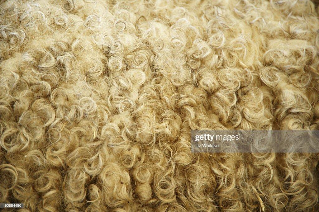 Sheep wool, close-up