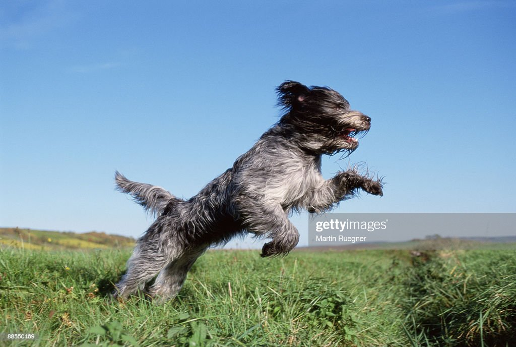 Sheepdog jumping in field : Stock Photo