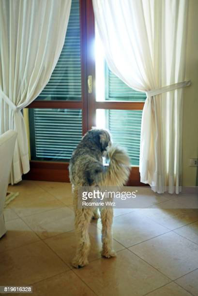 Sheepdog standing in front of closed door