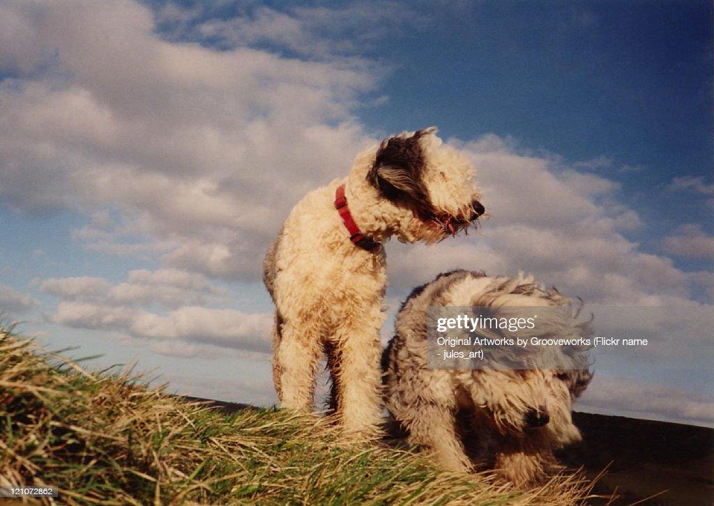 Sheepdogs : Stock Photo