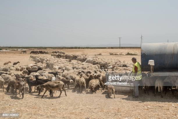 A sheepherd water his flock from a bathtub as they cross arid plots of land on July 28 2017 in Los Martinez del Puerto Spain As the severe drought in...